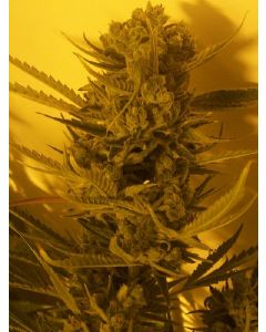 Cheese BX1 Seeds
