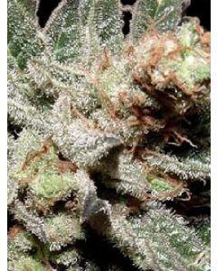 G13 Haze x Amethyst Bud Seeds