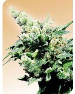 Hash Plant Seeds