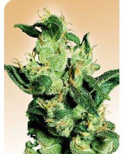 Jack Herer  Regular Seeds - 10