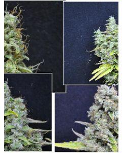 Skunk Haze Seeds