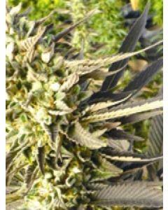 Trainwreck Regular Seeds