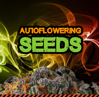 Buy autoflowering cannabis seeds