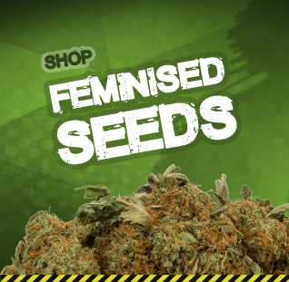 Buy feminised cannabis seeds